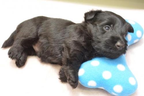 スコティッシュテリアの子犬(ID:1247711002)の2枚目の写真/更新日:2019-10-17