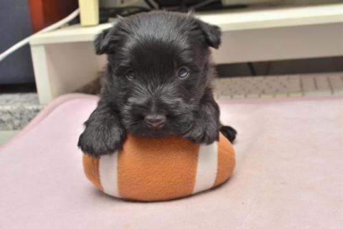 スコティッシュテリアの子犬(ID:1247711002)の3枚目の写真/更新日:2019-10-17