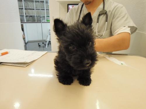 スコティッシュテリアの子犬(ID:1247711002)の5枚目の写真/更新日:2014-07-19