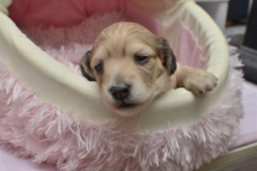 ミニチュアダックスフンド(ロング)の子犬(ID:1247711003)の1枚目の写真/更新日:2015-03-18