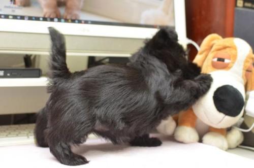 スコティッシュテリアの子犬(ID:1247711004)の2枚目の写真/更新日:2017-11-28