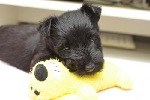 スコティッシュテリアの子犬(ID:1247711005)の1枚目の写真/更新日:2019-10-17