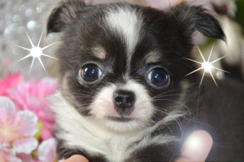 チワワ(ロング)の子犬(ID:1247811026)の1枚目の写真/更新日:2017-03-16