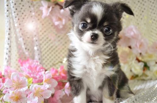 チワワ(ロング)の子犬(ID:1247811026)の2枚目の写真/更新日:2017-03-16