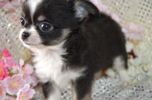 チワワ(ロング)の子犬(ID:1247811026)の3枚目の写真/更新日:2017-03-16