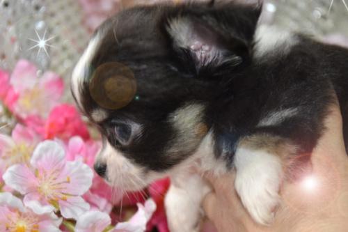チワワ(ロング)の子犬(ID:1247811026)の5枚目の写真/更新日:2017-03-16
