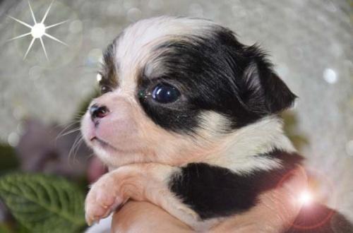 チワワ(ロング)の子犬(ID:1247811027)の1枚目の写真/更新日:2017-04-25
