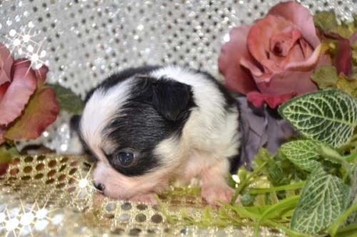 チワワ(ロング)の子犬(ID:1247811027)の2枚目の写真/更新日:2017-04-25