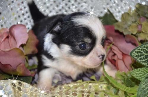 チワワ(ロング)の子犬(ID:1247811027)の4枚目の写真/更新日:2017-04-25