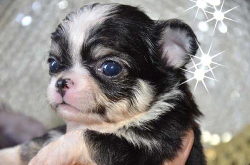 チワワ(ロング)の子犬(ID:1247811029)の1枚目の写真/更新日:2017-04-25