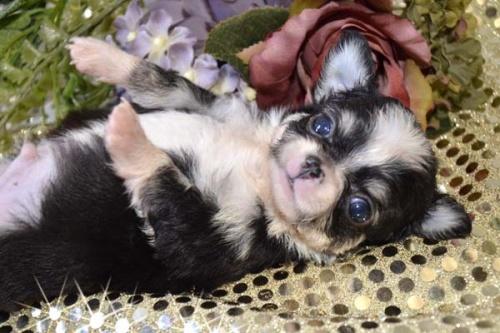 チワワ(ロング)の子犬(ID:1247811029)の2枚目の写真/更新日:2017-04-25