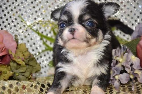 チワワ(ロング)の子犬(ID:1247811029)の3枚目の写真/更新日:2017-04-25