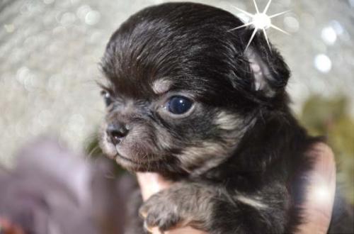 チワワ(ロング)の子犬(ID:1247811030)の1枚目の写真/更新日:2017-04-25