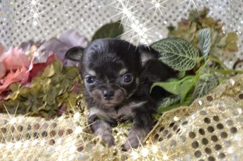チワワ(ロング)の子犬(ID:1247811030)の2枚目の写真/更新日:2017-04-25