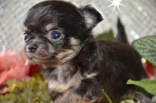 チワワ(ロング)の子犬(ID:1247811030)の3枚目の写真/更新日:2017-04-25