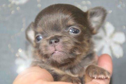 チワワ(ロング)の子犬(ID:1247811039)の1枚目の写真/更新日:2020-07-04