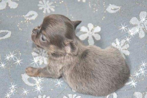 チワワ(ロング)の子犬(ID:1247811039)の2枚目の写真/更新日:2020-07-04