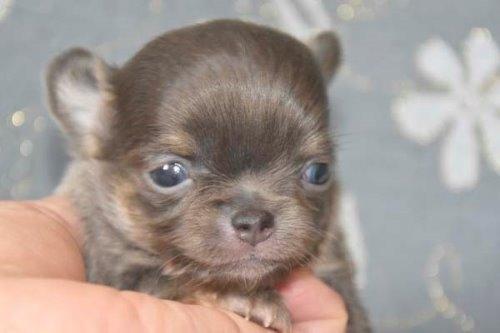 チワワ(ロング)の子犬(ID:1247811039)の4枚目の写真/更新日:2020-07-04