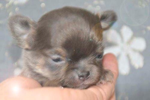 チワワ(ロング)の子犬(ID:1247811039)の5枚目の写真/更新日:2020-07-04