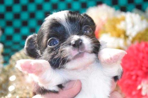 チワワ(ロング)の子犬(ID:1247811045)の1枚目の写真/更新日:2020-12-24