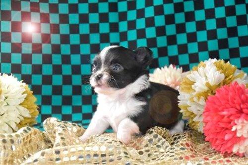 チワワ(ロング)の子犬(ID:1247811045)の3枚目の写真/更新日:2020-12-24