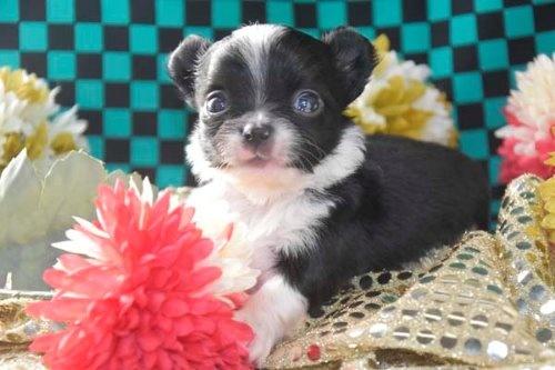 チワワ(ロング)の子犬(ID:1247811045)の4枚目の写真/更新日:2020-12-24