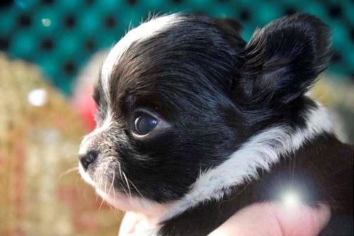 チワワ(ロング)の子犬(ID:1247811045)の5枚目の写真/更新日:2020-12-24