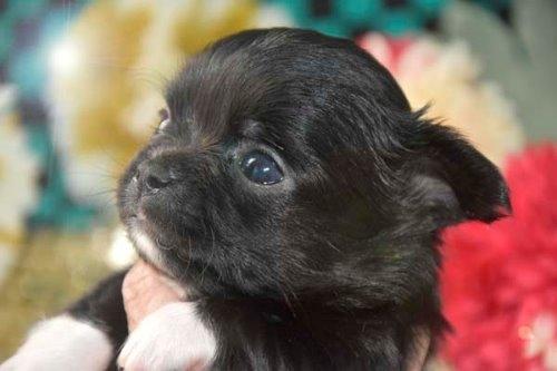 チワワ(ロング)の子犬(ID:1247811046)の1枚目の写真/更新日:2020-12-24