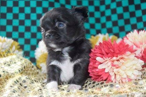 チワワ(ロング)の子犬(ID:1247811046)の2枚目の写真/更新日:2020-12-24