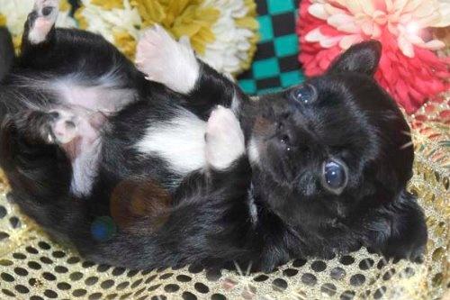 チワワ(ロング)の子犬(ID:1247811046)の3枚目の写真/更新日:2020-12-24