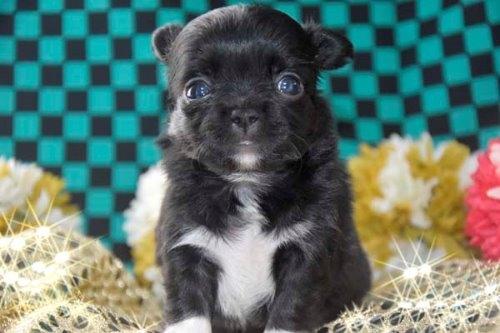 チワワ(ロング)の子犬(ID:1247811046)の4枚目の写真/更新日:2020-12-24