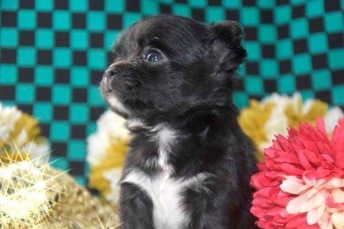 チワワ(ロング)の子犬(ID:1247811046)の5枚目の写真/更新日:2020-12-24