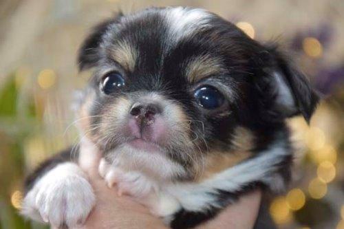 チワワ(ロング)の子犬(ID:1247811047)の1枚目の写真/更新日:2021-07-10
