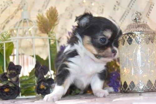 チワワ(ロング)の子犬(ID:1247811047)の2枚目の写真/更新日:2021-07-10