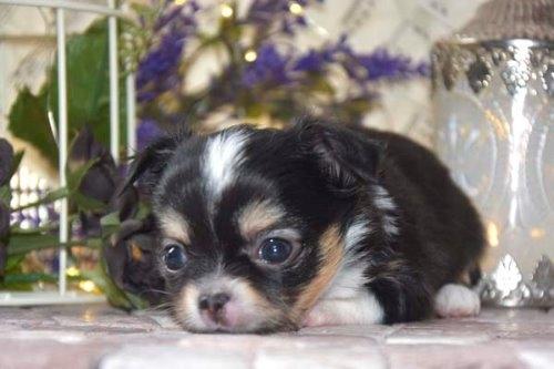 チワワ(ロング)の子犬(ID:1247811047)の3枚目の写真/更新日:2021-07-10