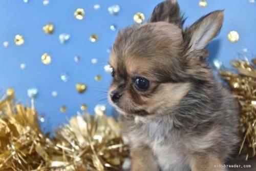 チワワ(ロング)の子犬(ID:1247811048)の2枚目の写真/更新日:2021-07-10