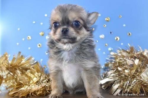 チワワ(ロング)の子犬(ID:1247811048)の4枚目の写真/更新日:2021-07-10