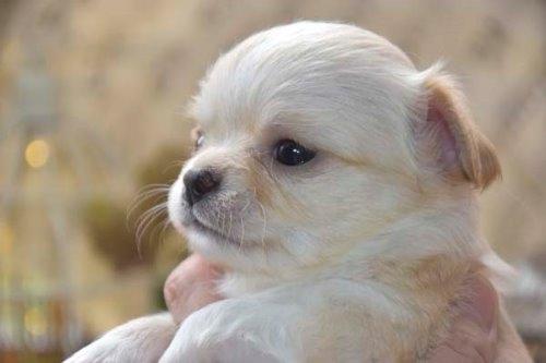 チワワ(ロング)の子犬(ID:1247811049)の1枚目の写真/更新日:2021-07-09