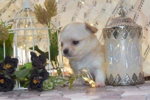 チワワ(ロング)の子犬(ID:1247811049)の2枚目の写真/更新日:2021-07-09