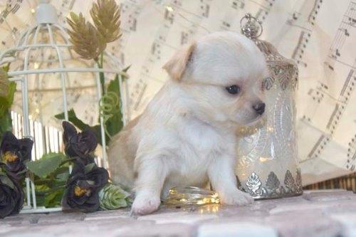チワワ(ロング)の子犬(ID:1247811049)の4枚目の写真/更新日:2021-07-09