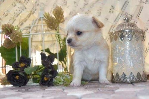 チワワ(ロング)の子犬(ID:1247811049)の5枚目の写真/更新日:2021-07-09