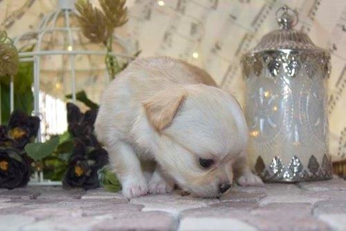 チワワ(ロング)の子犬(ID:1247811049)の7枚目の写真/更新日:2021-07-09