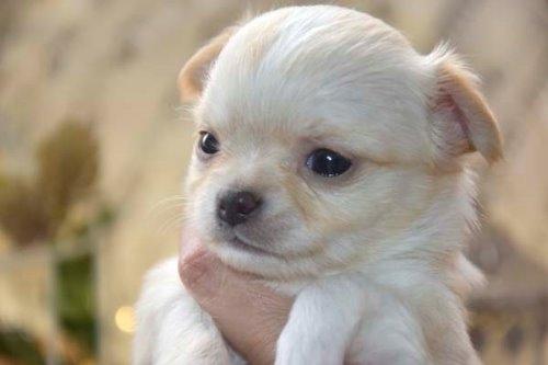チワワ(ロング)の子犬(ID:1247811049)の8枚目の写真/更新日:2021-07-09