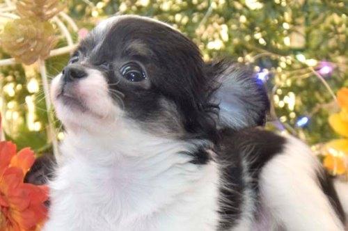 チワワ(ロング)の子犬(ID:1247811050)の1枚目の写真/更新日:2021-07-28