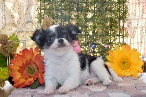 チワワ(ロング)の子犬(ID:1247811050)の2枚目の写真/更新日:2021-07-28