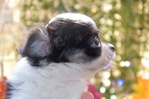 チワワ(ロング)の子犬(ID:1247811050)の3枚目の写真/更新日:2021-07-28