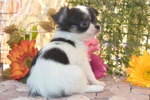 チワワ(ロング)の子犬(ID:1247811050)の4枚目の写真/更新日:2021-07-28