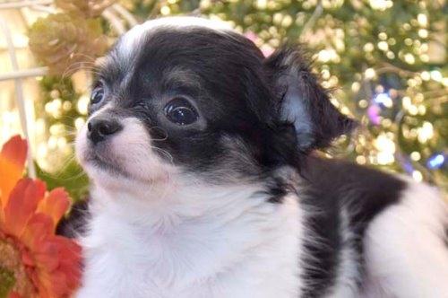 チワワ(ロング)の子犬(ID:1247811050)の5枚目の写真/更新日:2021-07-28