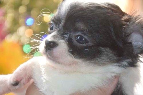 チワワ(ロング)の子犬(ID:1247811050)の6枚目の写真/更新日:2021-07-28
