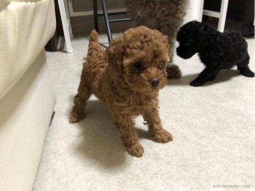 トイプードルの子犬(ID:1248111013)の2枚目の写真/更新日:2018-08-10